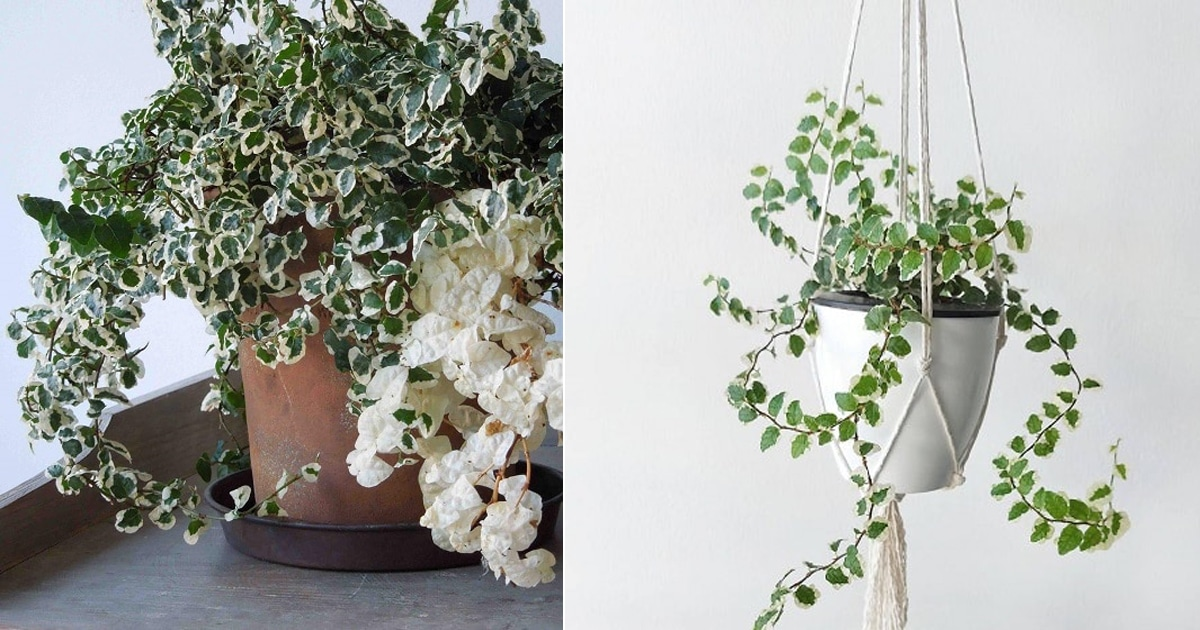 Creeping Fig Indoor Care   How to Grow Creeping Fig
