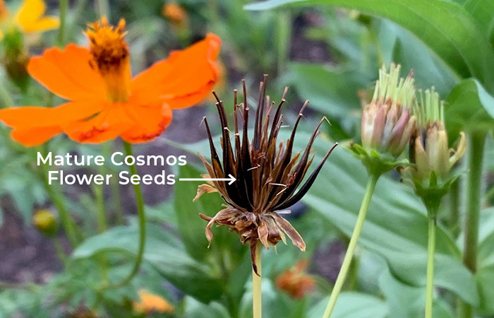 How to Grow Cosmos from Seeds