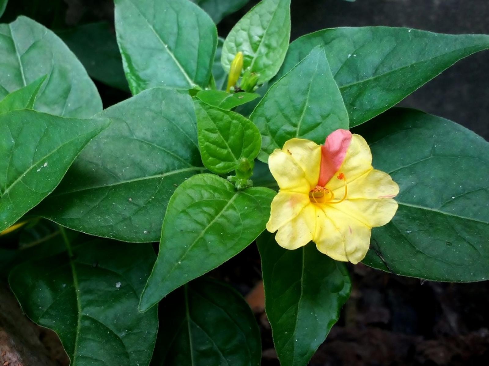 Four Oclock Plant Care