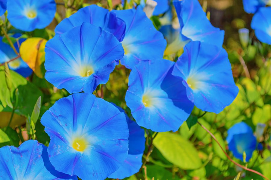 What You Need to Know About Morning Glories
